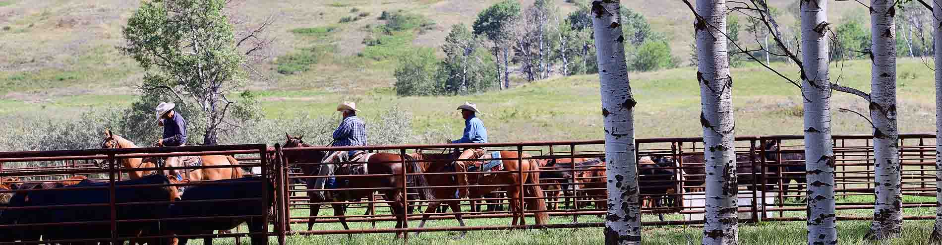 herding-cattle-bc-cutting-association